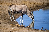 Gemsbok Drinking, Side-on View