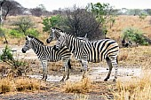 Zebra Trio Standing in Rain