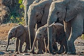 Elephant Mothers and Young