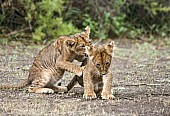 Lion Cub Bullying its Sibling