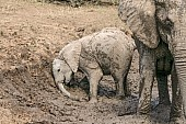 Elephant Youngster Enjoying Mud