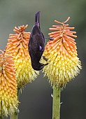 Amethyst Sunbird on Red Hot Poker