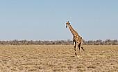 Lone Giraffe in Open Grassland
