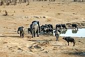 Buffalo Herd Drinking
