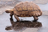 Leopard Tortoise Reference Photo