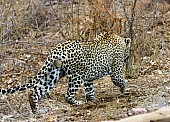 Male Leopard Walking Away from Camera