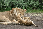 Patient Lioness with Cub