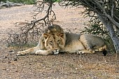 Lion Male at Rest Under Tree