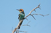 European Bee-eater, Profile View
