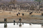 Elephants and Buffalo at Waterhole at Sundown