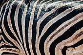 Zebra hide reference photo