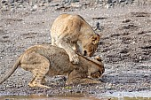 Young Lion Forces Sibling into Submission