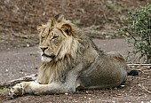 Lion Male Lying on Bank of River