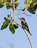 European Bee-eater on Tree Branch
