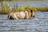 Lion Walking in River Shallows