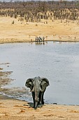 African Elephant Leaving Water
