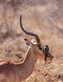 Impala Ram with Oxpecker