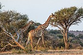 Giraffe Pair in Wooded Country