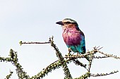 Lilac-breasted Roller, Side View