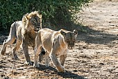 Male Lion Eager to Mount Lioness
