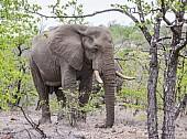 Elephant Bull in Relaxed Mode