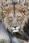 Portrait of Lion Male with Black Mane