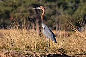 Goliath Heron on Riverbank