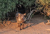 Warthog in Morning Sun