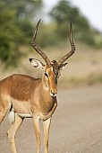 Impala Male with Oxpecker