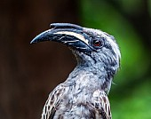 African Grey Hornbill Male, Close-up