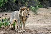 Lion Male Marking Territory
