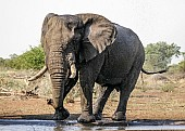 Bull Elephant on Edge of Waterhole