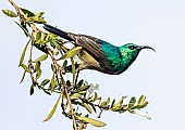 Southern Double-collared Sunbird Against Pale Background