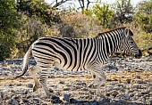 Zebra Trotting