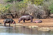 Hippos and crocs reference photo