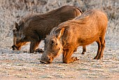 Warthog Foraging