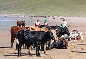 Cattle on the Beach with Local Women in Background