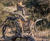 Young Cheetah Pair on Tree Stump