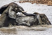 Elephant Pair Romping in Water
