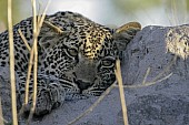 Leopard Cub at Rest on Termite Mound