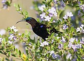 Male Amethyst Sunbird