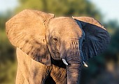 Agressive Young Elephant with Ears Flapping