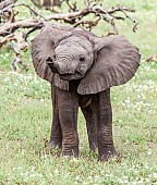 Baby Elephant, Full Figure