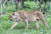 Lioness Walking, Close View