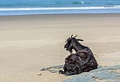 Goat Relaxing on Beach
