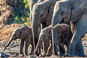 Elephant Adults with Youngsters