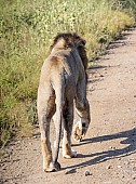 Lion Male Walking, Rear View