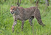 Cheetah Male Stepping Through Grass