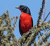 Crimson-breasted Shrike Perching