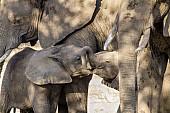 Elephant Babies Nuzzling